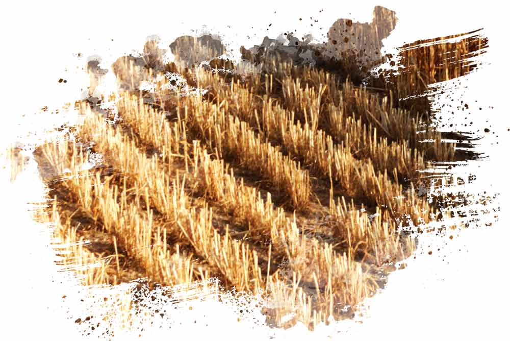 Phylazonit wheat stubble