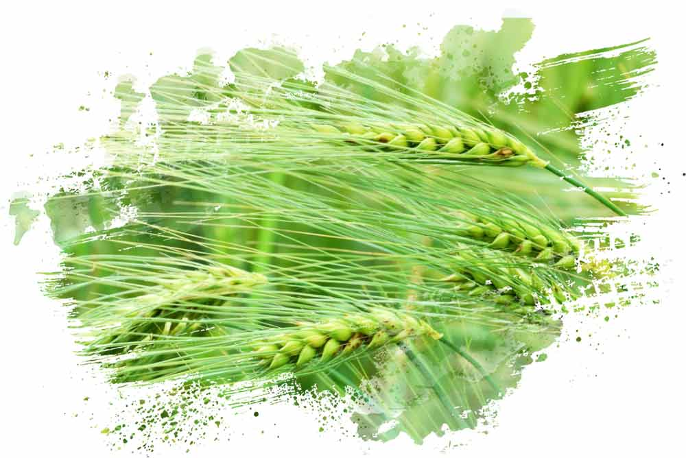Phylazonit green wheat